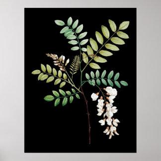 A acácia, locus preto, mura o impressão botânico