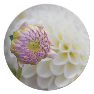 A dália branca bonita com botão ajustou-se na plac prato
