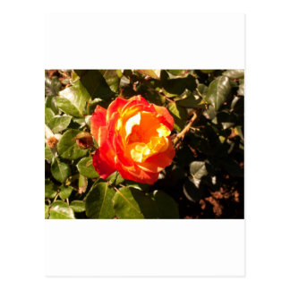 A laranja bonita aumentou cartão postal