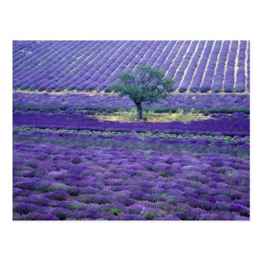 A lavanda coloca, Vence, Provence, France Cartoes Postais
