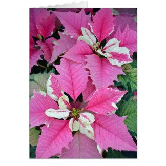 A poinsétia cor-de-rosa do Natal floresce o cartão
