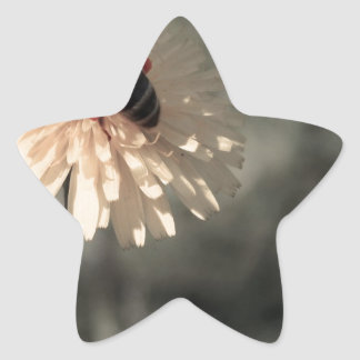 Adesito Estrela Zangão na flor