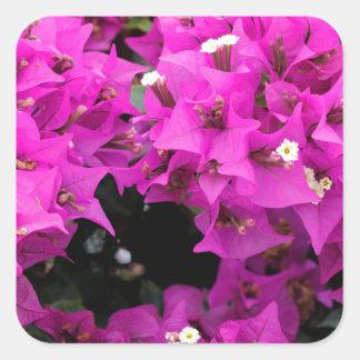 Adesivo Quadrado Fundo fúcsia roxo do Bougainvillea