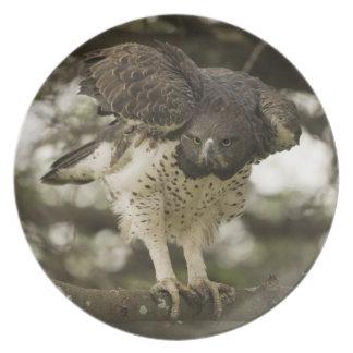 Adulto marcial de Eagle na árvore Prato