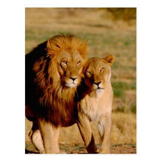 África, Namíbia, Okonjima. Leão & leoa Cartão Postal