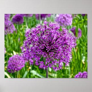 Allium roxo, poster