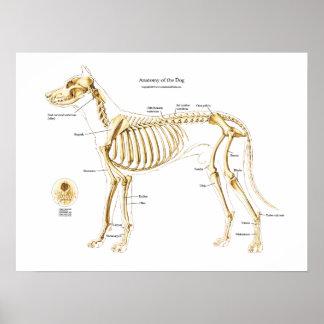 Anatomia esqueletal do poster do cão pôster