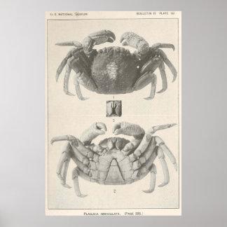 Anatomia Fotografia do caranguejo do vintage Pôster