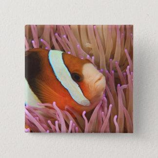 anemonefish, mergulho autónomo em Tukang 2 Bóton Quadrado 5.08cm