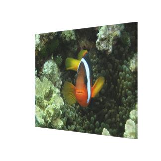 Anemonefish preto (melanopus do Amphiprion) dentro Impressão De Canvas Envolvidas