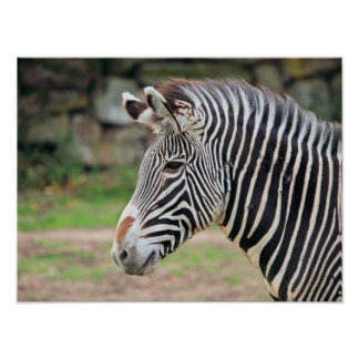 Animal da zebra poster