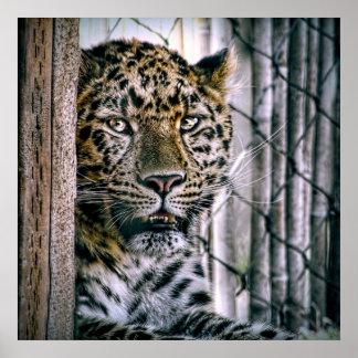 Animal exótico do jardim zoológico do leopardo de pôsteres