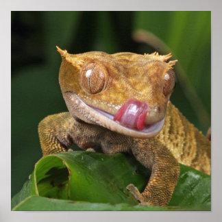 Animal selvagem engraçado: GEKO que lambe os lábio Impressão
