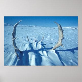 Antlers do caribu na neve poster