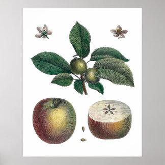 Apple estuda a imagem botânica poster