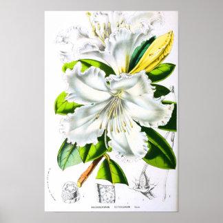 Arte botânica do vintage poster