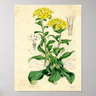 Arte botânica:  Ilustração do vintage Poster