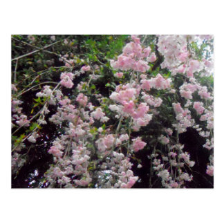 Árvore de florescência cor-de-rosa cartão postal