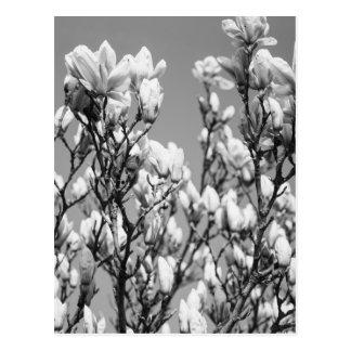 Árvore elegante preto e branco da magnólia cartão postal