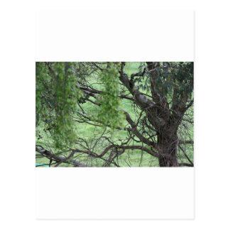 Árvores de Australiana Cartão Postal