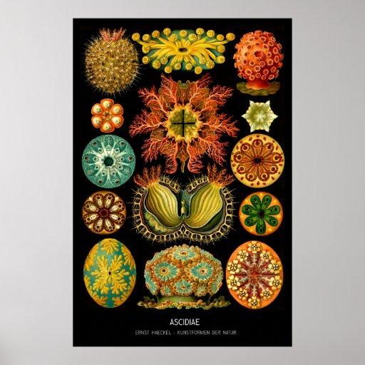 Ascidiae - placa 85 - der Natur de Kunstformen Impressão