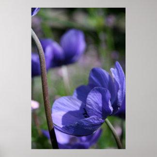 Azul bonito - anêmonas - fotografia floral poster