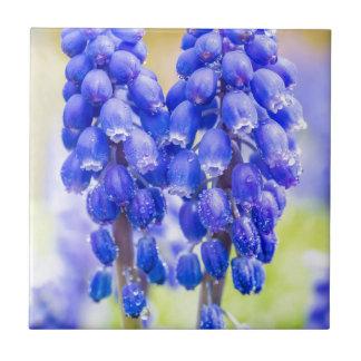 Azulejo De Cerâmica Dois jacintos de uva azuis no primavera