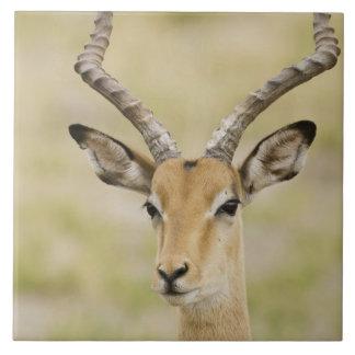 Azulejo De Cerâmica Impala masculino com os chifres bonitos na luz