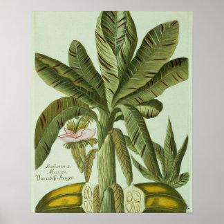 Banana, de Phytanthoza Iconographi de J. Weinmann Poster