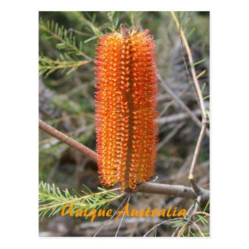 Banksia alaranjado cartões postais