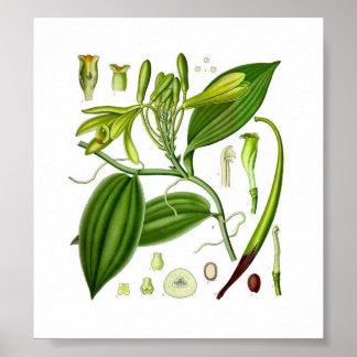 Baunilha botânica poster