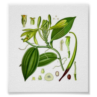 Baunilha botânica pôster