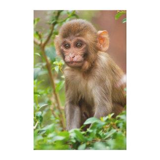 Bebê do reso, templo do macaco, Jaipur Impressão De Canvas Esticadas
