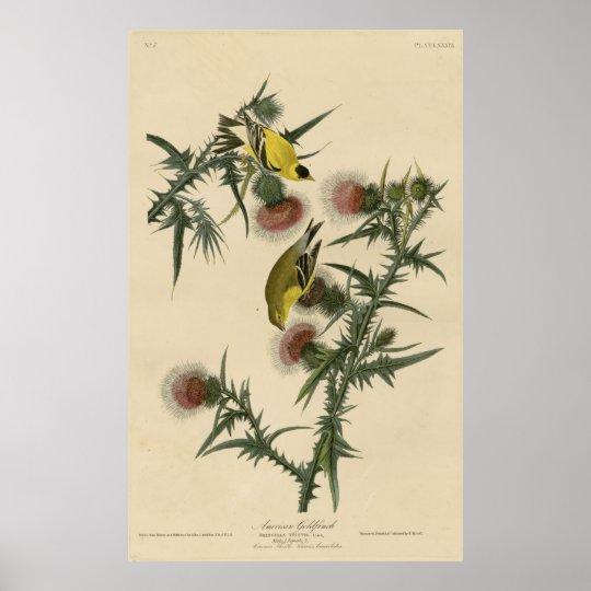Bird, America, American Goldfinch, Audubon, Vintag Póster