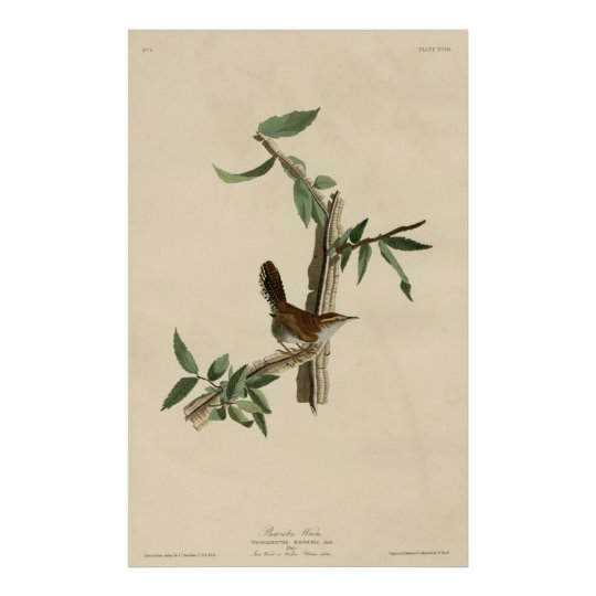 Bird, America, Bewick Wren, Audubon, Vintage Póster