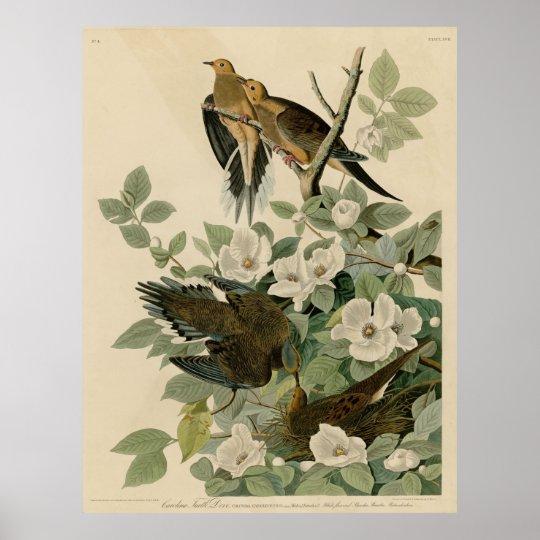 Bird, America, Carolina Turtle Dove, Audubon, Vint Póster