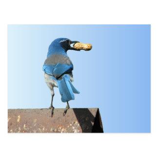 Bluebird bonito cartão postal