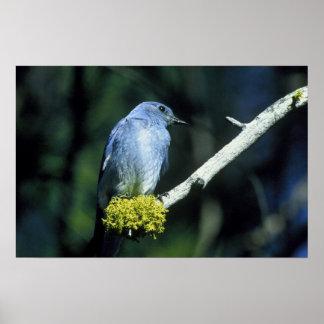 Bluebird da montanha pôsteres