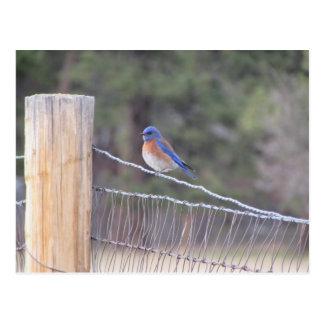 Bluebird em uma cerca cartão postal