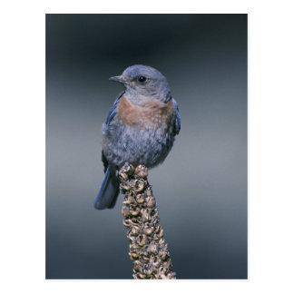 Bluebird ocidental cartão postal