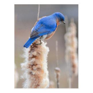 Bluebird oriental cartão postal