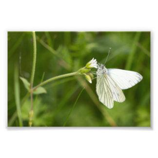 borboleta branca Verde-veada Impressão De Foto