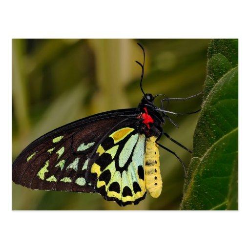 Borboleta de Birdwing dos montes de pedras Cartoes Postais