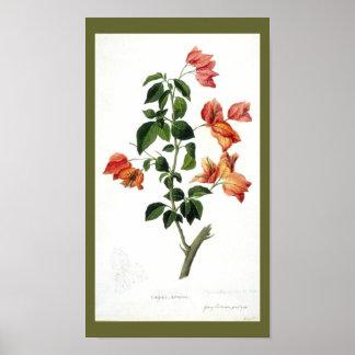 Botânico-Flor-Bouganville do vintage Impressão