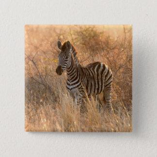 Bóton Quadrado 5.08cm Potro da zebra na luz da manhã