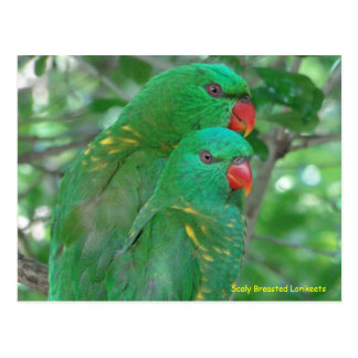 Breasted escamoso australiano Lorikeets Cartão Postal