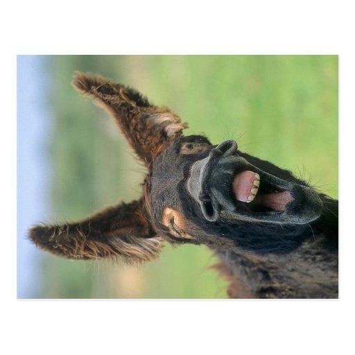 burro, burro, cartao postal