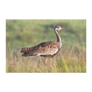 Bustard Preto-Inchado, conservação de Ngorongoro Impressão Em Tela