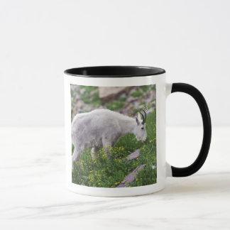 Cabra de montanha, Oreamnos americano, adulto com Caneca