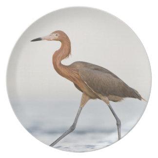 Caça adulta do Egret avermelhado na baía, Texas Pratos